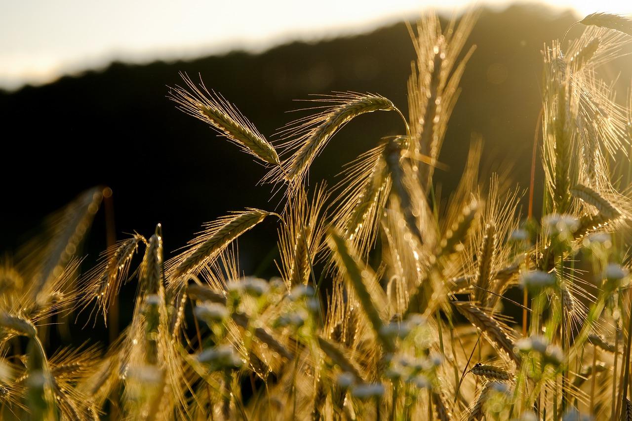 Getreide Weizen Roggen - Assmann Perle